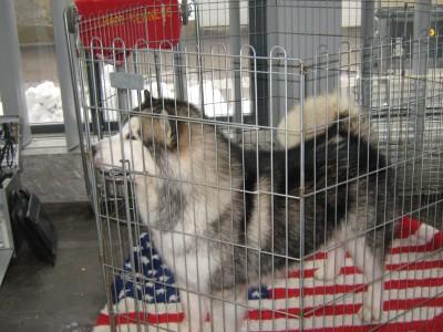 Aljaški malamut, ki je na razstavo prišel iz ZDA, kar je pokazal s svojo ležalko.