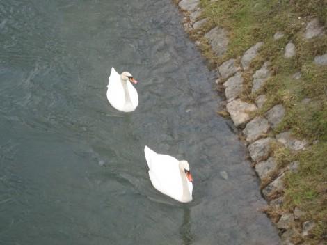 Čeprav pravijo, da Ljubljanica ni med najčistejšimi rekami, pa bliz tržnice v Mostah labodi v njej veselo plavajo.