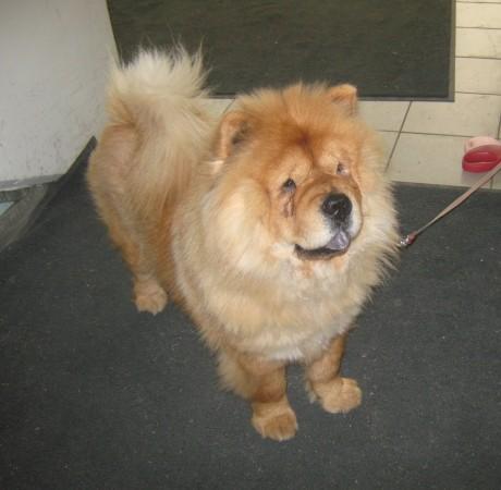 Čov-čov je simpatičen pes, ki je po naravi zadržan in svojeglav. Nekje sem prebrala, da je podoben plišastemu medvedku in s tem se kar strinjam, toda kljub temu se ne crklja prav rad.