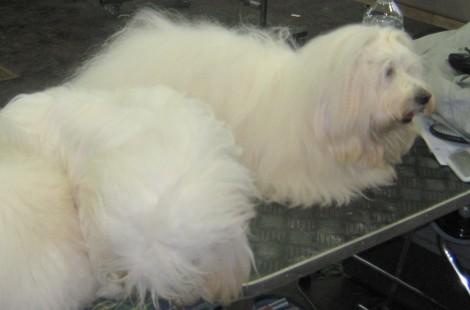 Maltežan si z zanimanjem ogleduje vrvež na pasji razstavi.