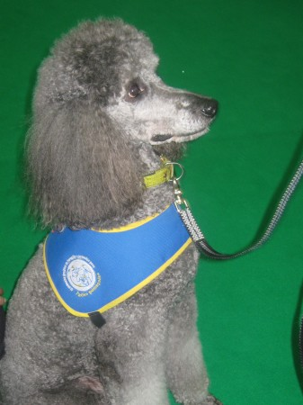 Gustav, pes terapevt iz Slovenskega društva za terapijo s pomočjo psov Tačke pomagačke.