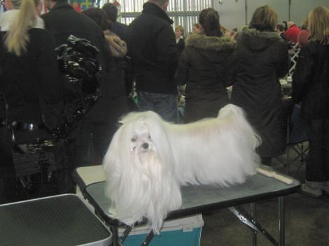 Maltežan na pasji razstavi. Kako se pes giblje z dolgo dlako, ki jo ima pod gobčkom, nimam pojma.