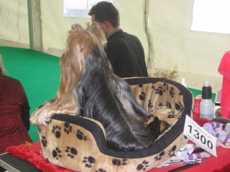 pozorno je treba spremljati konkurenco na pasji razstavi