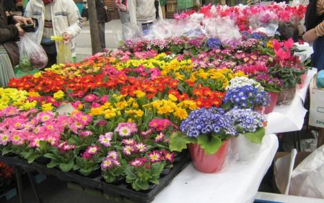 Primule na ljubljanski tržnici