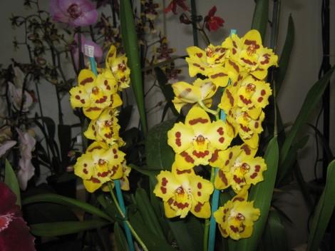 Pisana orhideja