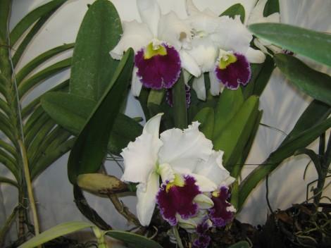 Belo z vijolično kombinacijo