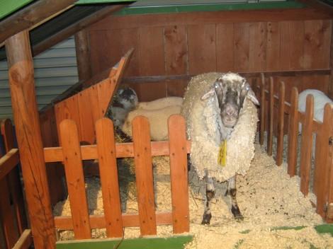 ovca z jagenjčkoma
