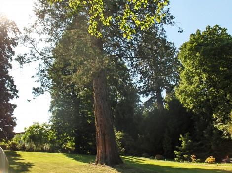 Sekvoja, s katero se je začel na tem prostoru porajati Botanični vrt UM