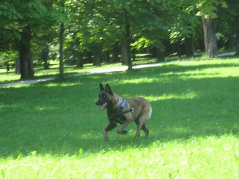 Arni je super pes, res me je navdušil. Čestitke vodniku, da ga je tako dobro izuril.