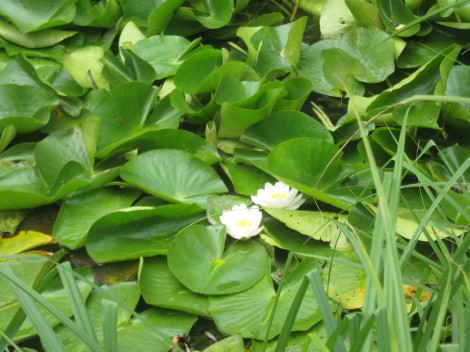 Lokvanji cvetijo