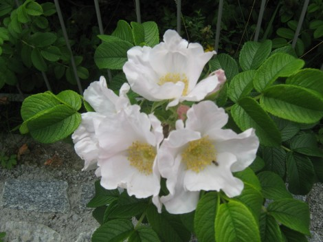 Tudi rože cvetijo, ob vsakem obisku, drugačne.