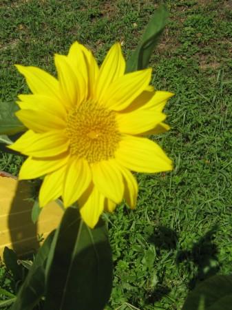 Tale sončni cvet raste ob Ljubljanici na Špici.