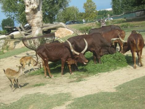 Ena goveja.