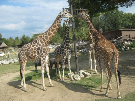 Žirafe pri kosilu