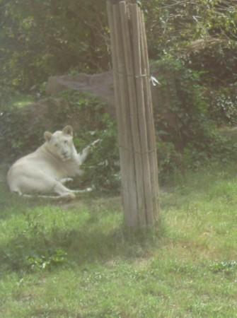 Beli lev ni bil pripravljen na poziranje.