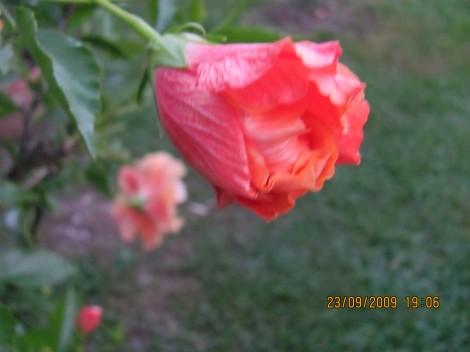 Oslez ali kitajska vrtnica