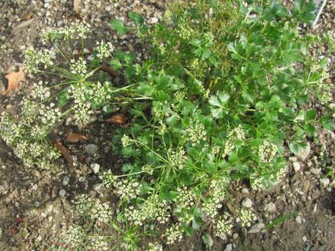 Hladnikija ponovno cveti. Poimenovana je po slovenskem botaniku in prvem ravnatelju botaničnega vrta, Hladniku.