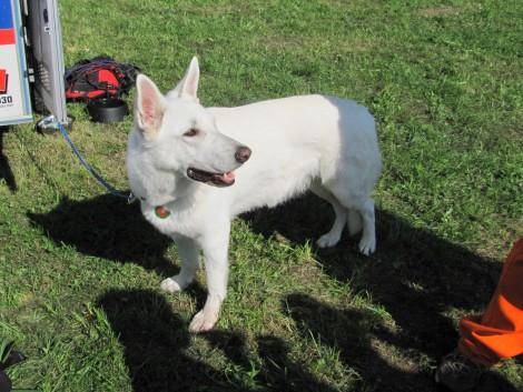 Švicarski beli pes. Ta lepotec je del ekipe reševalnih psov.