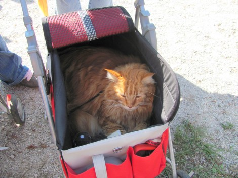 Mački so se pripeljali v prav fensi vozičku.