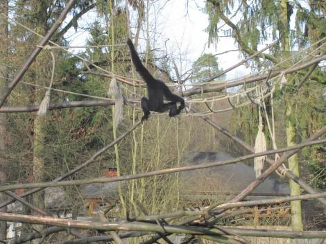 Opica črna čopičarka izhaja iz Južne Amerike. Odrasla tehta približno 0,3 kg.