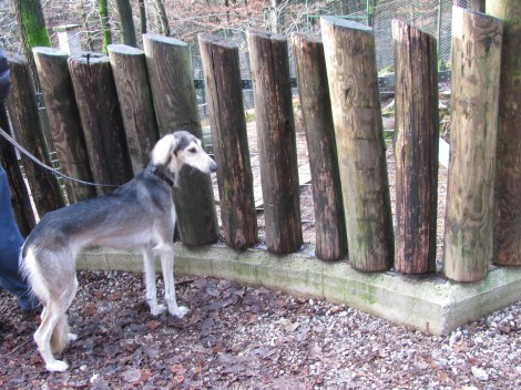 Perzijski hrt - saluki v zoo z zanimanjem opazuje volkove.