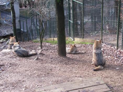 Koliko je volkovom mar za obiskovalce so nazorno pokazali. Seveda slišali so, da prihaja oskrbnik s hrano.