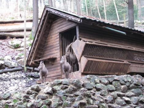 Alpski kozorog. V Sloveniji jih živi okoli sto.