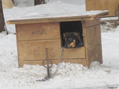Aljaški husky Angel je svoje obiskovalce samo mirno opazovala iz svoje hiše.