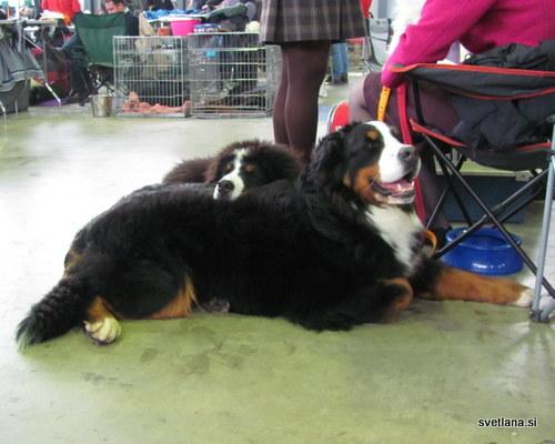 Bernski planšarski pes, mamo lahko uporabim tudi kot blazino, si misli mladiček