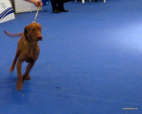 Vižla, pes z veliko energije, potrebuje veliko gibanja na prostem, ne samo na razstavnem prostoru :)