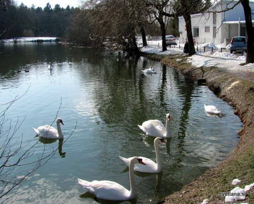 Labodje jezero. Ne, to je Koseški bajer, labodi pa čakajo na koščke kruha, ki jim ga mečejo sprehajalci