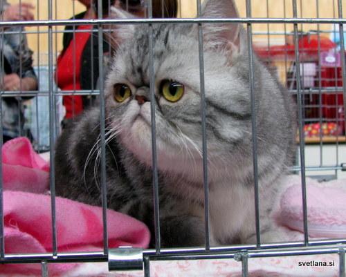 Eksota ali eksotska perzijka je novejša pasma mačk