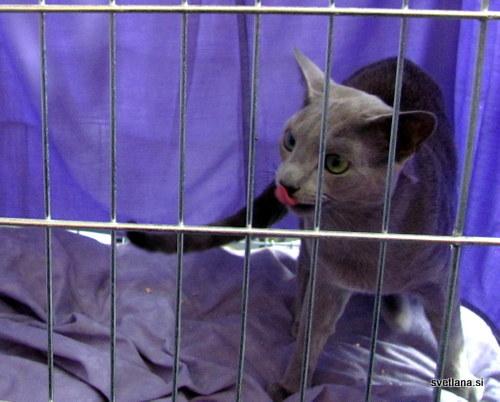 Ruska modra mačka izhaja iz severne Rusije in je naravna pasma