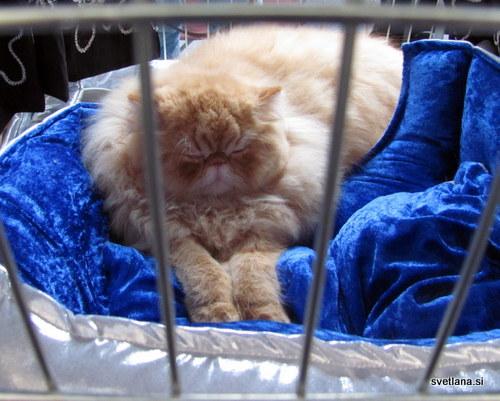 Perzijka, ena najstarejših in najbolj priljubljenih mačk