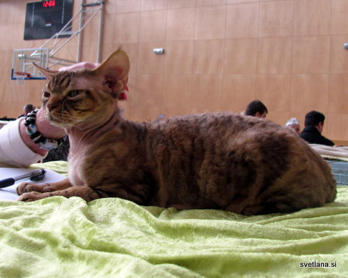 Devon Rex je mlajša pasma mačke in je nastala v angleškem Devonu. Spominja na vesoljčka, njena značilnost pa je valovita dlaka. Zelo rada se crklja, preverjeno :)
