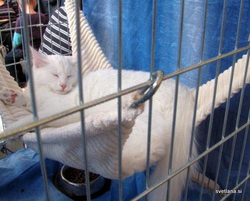 Norveška gozdna mačka v beli barvi