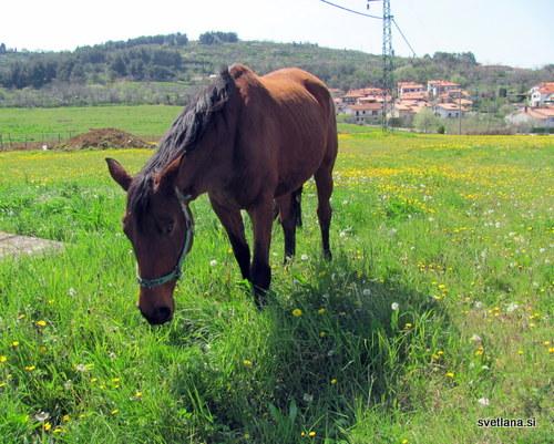 Izola, Livade in konji na paši, idila :)