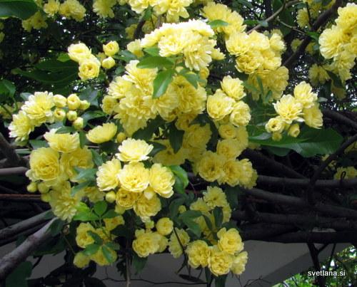 Drobni, rumeni cvetovi, podobni vrtnici,