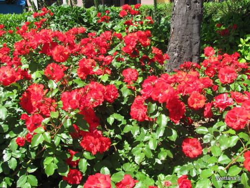 Vrtnice, park Pietro Coppo, Izola