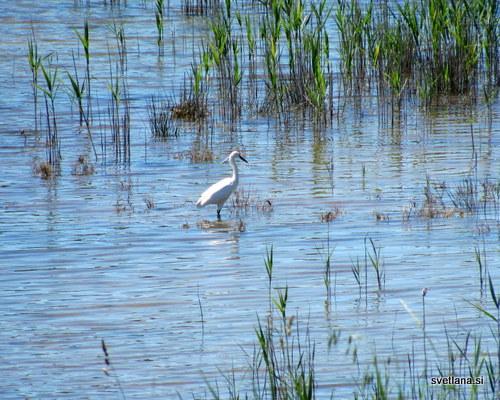 Čaplja v laguni Stjuža