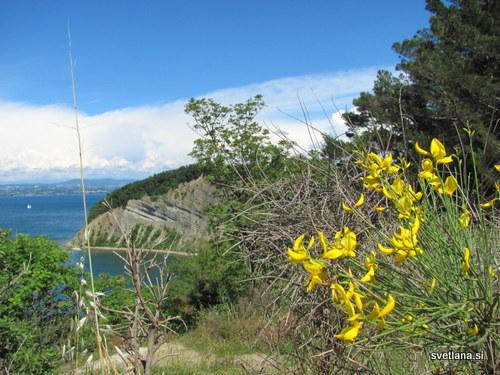 Naravni rezervat Strunjan, klifi in brnistra, grm z rumenimi cvetovi, ki odlično uspeva na flišnih tleh