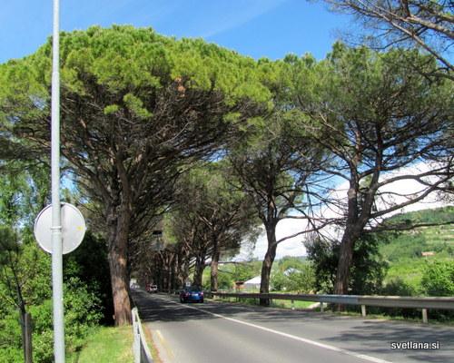 Pinijev drevored v Strunjanu je zaščiten kot naravni spomenik, sestavlja ga 116 dreves, ki so jih zasadili na začetku 20. stoletja